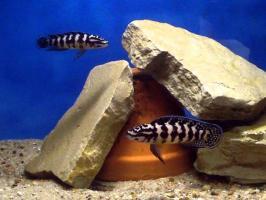 Юлидохромис Масковый (Julidochromis transcriptus)