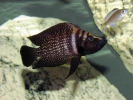 Кальвус Блек (Altolamprologus calvus)