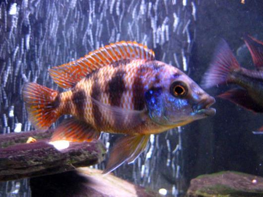 Плацидохромис миломо (placidochromis milomo)
