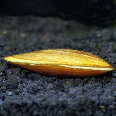 Беззубка тайская (Pilsbryoconcha exilis)