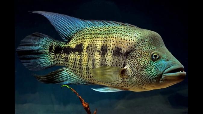 Цихлазома Волк Дови (Parachromis dovi )