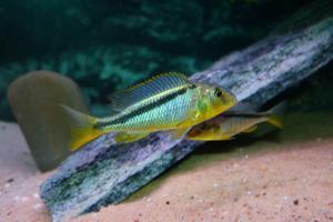 Буккохромис родези (Buccochromis rhoadesii)