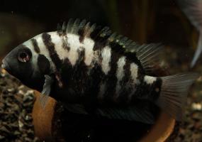 Чернополосая цихлозома (Cichlasoma nigrofasciatum) купить в Амигофиш