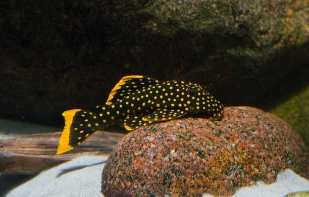 L-177 Желтоточечный Плеко (Baryancistrus xanthellus)