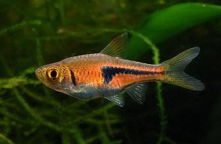 Расбора Эспей (Trigonostigma espei)