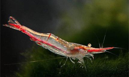 Креветка Пиноккио (Caridina gracilirostris)