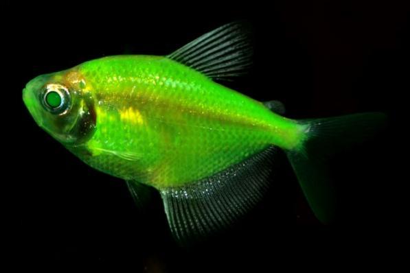 Тернеция GloFish Зеленая «Electric Green»