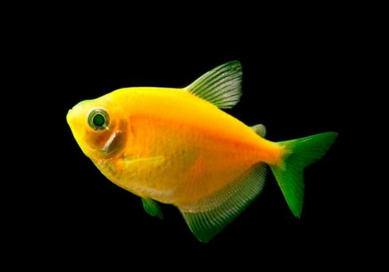 Тернеция GloFish Оранжевая