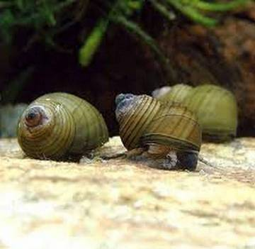 Улитка зеленая торпеда (Водорослеед) (Cipangopaludina leucythoides)