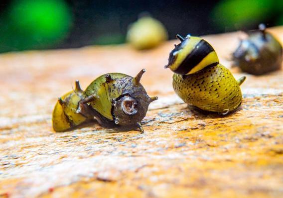 Улитка Рогатая Неретина Билайн (Horned Nerite Snail)