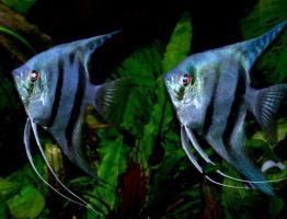 Скалярия Голубая (Pterophillum Scalare)