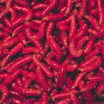 Опарыш Красный