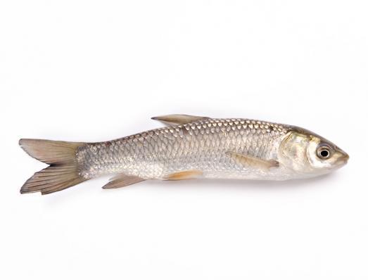Белый амур (аквакультура, разводной)