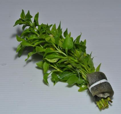 "Альтернатера зеленая бетзикиана (Alternanthera ""Bettzickiana Green"")"