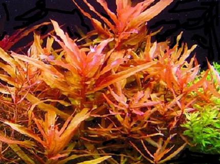 Аммания изящная грацилис (Ammania gracilis)
