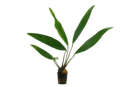 Анубиас копьевидный (Anubias lanceolata)