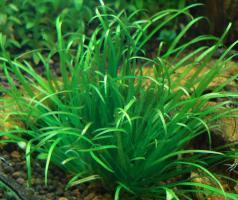 Бликса (Blyxa japonica)