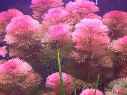 Красная кабомба, кабомба фурката (лат. Cabomba piauhyensis, Cabomba furcata)