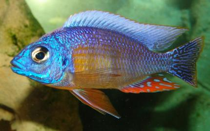 prodtmpimg/15161191572131_-_time_-_Taiwan-Reef-Cichlid.jpg