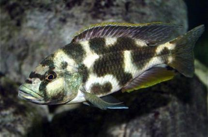 Хаплохромис Ливингстона (Nimbochromis livingstonii)