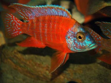 Аулонакара ред-рубин (Aulonocara Red Rubin)