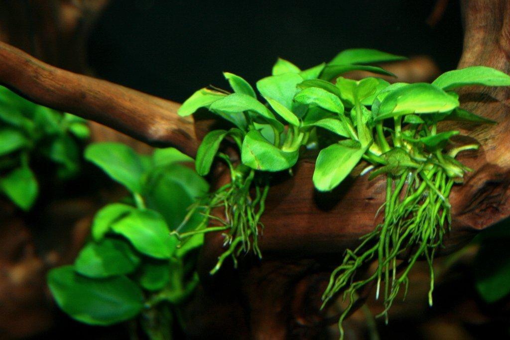 волжском анубиас виды фото средняя луночковая ветвь