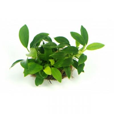 Анубиас нана бонсай (Anubias nana bonsai)