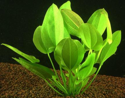 Эхинодорус Шлютера, Леопард (Echinodorus schlueteri)