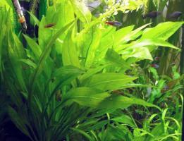 Эхинодорус Блехера (Echinodorus grisebachii «Bleherae»)_2