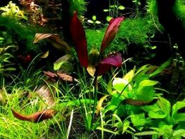 Эхинодорус пылающее пламя (Echinodorus Aflame)