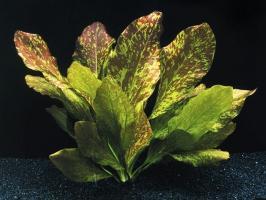 Эхинодорус красное пламя (Echinodorus Red Flame)