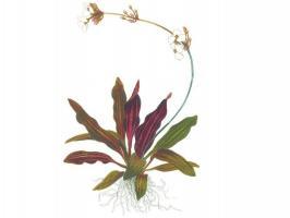 Эхинодорус рубин (Echinodorus Rubin)_1