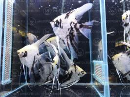 Березка (мраморная) бриллиантовая вуалевая производители 12-14 см