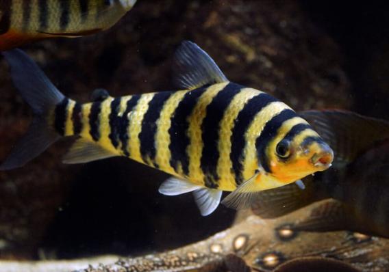 Лепоринус полосатый (Leporinus fasciatus)