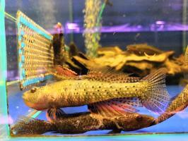 Бутис Бутис - Crazy fish