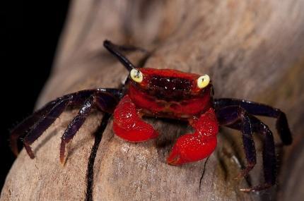 Краб  дьявол (Geosesarma sp. Devil)