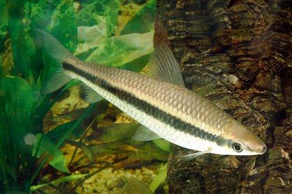 Аностомус Таениатус (Anostomus Taeniatus)